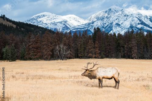 Bull elk in the wild