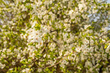 Blooming cherry tree. Spring background.
