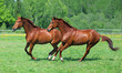 Pair Thoroughbred race horse galloping on a summer meadow - 263187181
