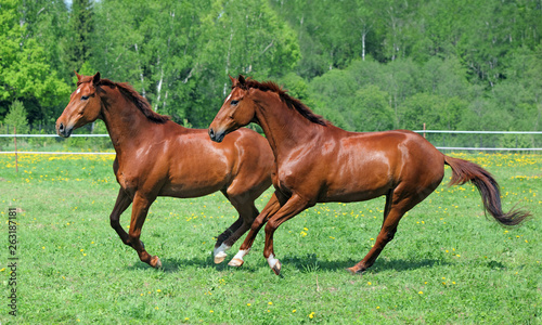 Pair Thoroughbred race horse galloping on a summer meadow