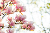 Spring background, blossoming Magnolia x soulangeana tree.