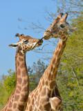 Closeup of two giraffes (Giraffa camelopardalis) with a twig