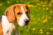 canvas print picture - Beagle dog head in a garden with big ears.