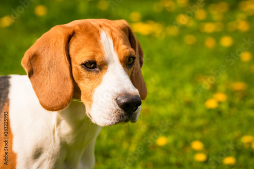 canvas print picture Beagle dog head in a garden with big ears.