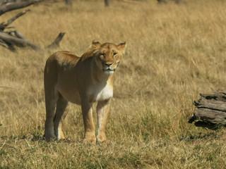 standing lioness in masai mara national park, kenya