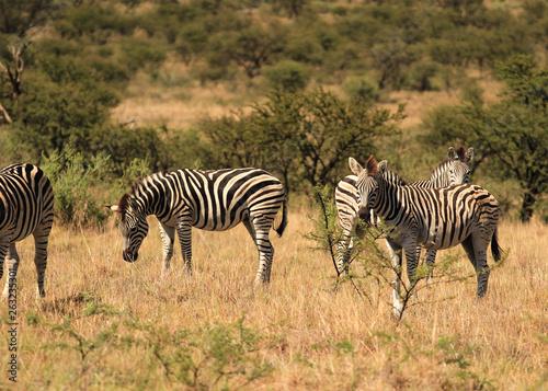 Herd of Burchell' s zebras in South Africa