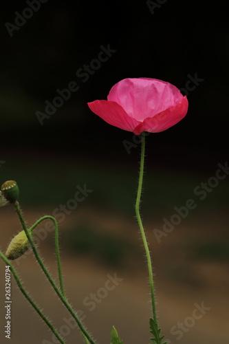 ポピーの花 © phototenki