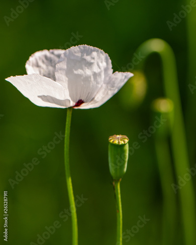 Poppy flower field on blurred green background. - 263287911