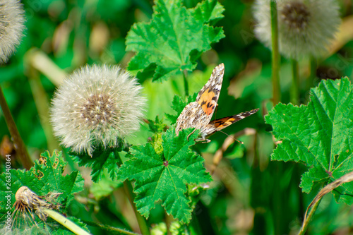 Painted Lady Butterfly on Green Leaf by Dandelion - 263340364