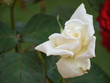 canvas print picture - white rose plant