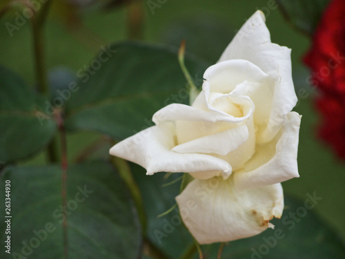 canvas print picture white rose plant