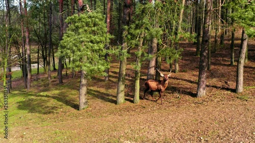 Deers in the spring forest in sunny day, Poland