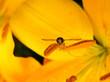 canvas print picture - Schwebevespe auf gelbe Lilie