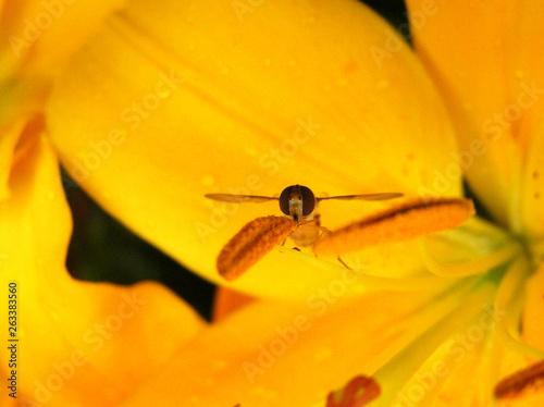 canvas print picture Schwebevespe auf gelbe Lilie