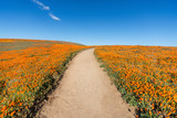 Inviting trail through poppy wildflower super bloom field in Southern California.