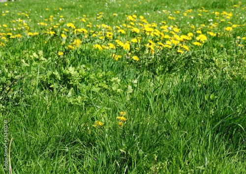canvas print picture Eine Wiese mit viel Löwenzahn im Frühjahr