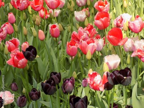 Tulipani © Federica