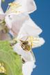 canvas print picture - Wilde Biene auf Apfelblüte