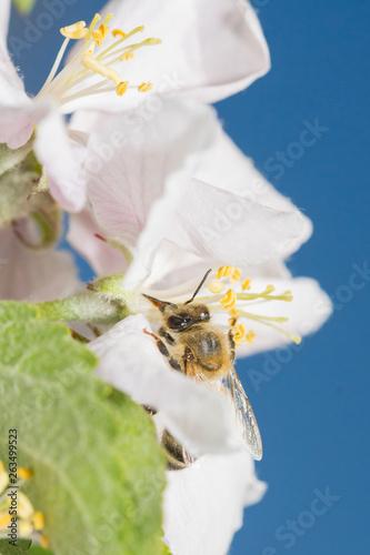 canvas print picture Wilde Biene auf Apfelblüte