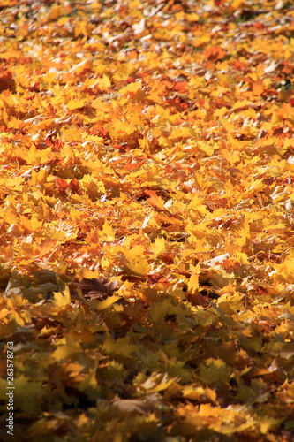 canvas print picture Autumn leaves under a maple tree (Acer campestre)