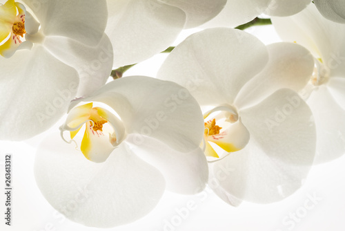 white orchid flowers, macro - 263613312
