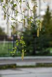 birch earrings