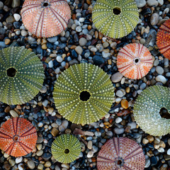 variety of colorful sea urchins on wet pebbles beach top view, filtered image