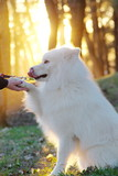 Samoyed dog happy