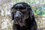 Dog labrador with sunglasses, funny dog.