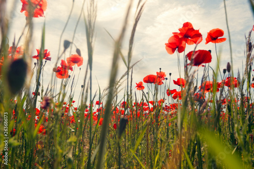 Flowers Red poppies blossom on wild field with selective focus.  - 263686173