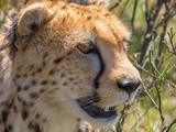 Close up at a Cheetah in the bush