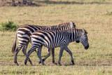 Zebras walking on the savannah in Masai Mara