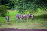 Herd of zebras and ostrich in the wild in park