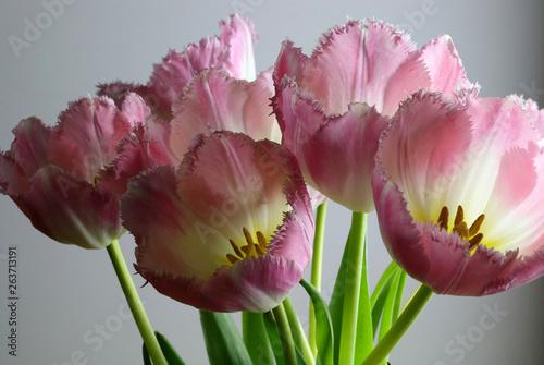 Tulipani rosa in primo piano © bursucgrazziela