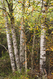 Birch trees with colorful autumnal foliage
