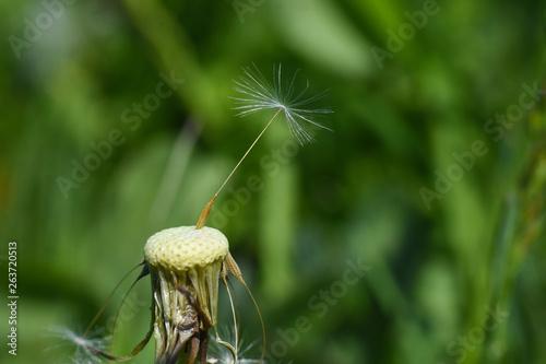 Dandelion, blowing ball. Bloomed dandelion seeds close up