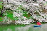 Travelers enjoying the scenario surrounded by Chidori-ga-fuchi Moat's cherry blossoms (sakura) on a rental boat ride.