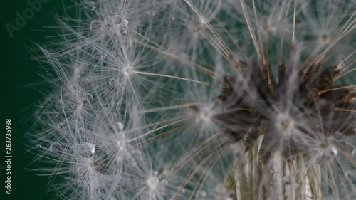 Macro of tiny water droplets on a dandelion seed-head, slowly rotating.