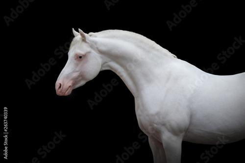 Beautiful white arabian horse portrait on black background isolated