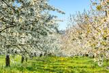 Cherry tree blossom near Ockstadt