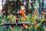 orange lily blooms in summer park