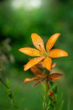flower of orange lily
