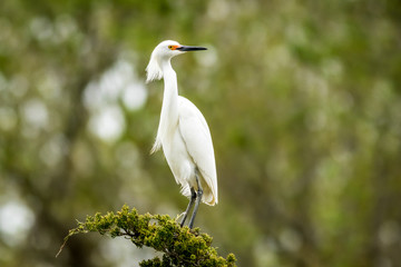 Snowy Egret, Egretta thula, a small white heron looks graceful in delicate whispy plumage on green branch and background