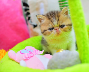 cutte persian baby kitten playing © Natallia Vintsik