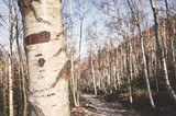 Close up picture of a birch tree in a mountain forest, selective focus, color toning applied, Karkonosze National Park, Poland.