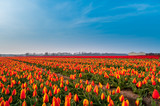 field of red and yellow tulips in netherlands