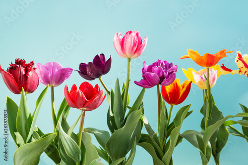 tulips flowers spring background