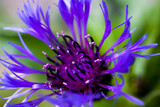 Macro close up of purple squarrose knapweed (centaurea triumfettii) with blurred green background (focus on tops of pedicels)