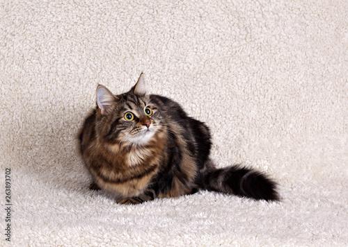 .Fluffy siberian cat on fluffy white background