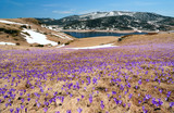 large crocus flower meadow in spring mountains